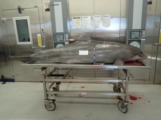Arrow in dolphin_whole carcass_NOAA photo credit.jpg