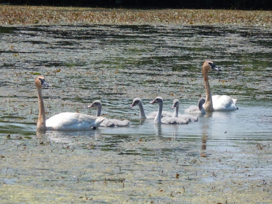 A family of trumpeter swans picks for food at Magee Marsh Wildlife Area in Carroll Township.