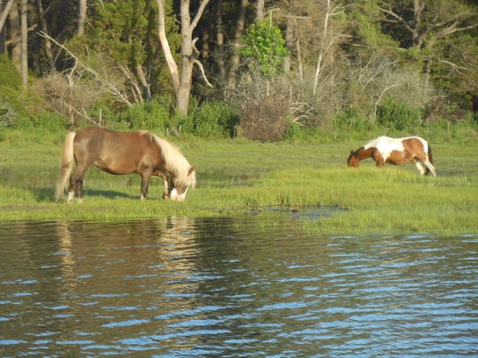 Chincoteague ponies graze the salt marsh, seen from a Captain Dan's Tours boat. During the summer, many passengers want to have a glimpse of the world-famous ponies in the wild.