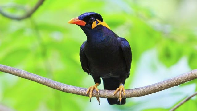 Way over yonder in the myna key: Sometimes pet myna birds imitate human words that are best left unspoken.