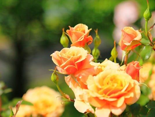636544015306868516-Roses.jpg