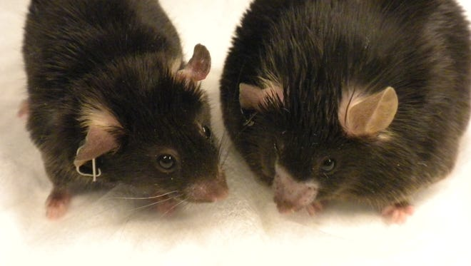 Two sibling lab mice.