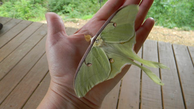 Jennifer Zaenglein, the deputy of Van Buren Township's parks and recreations, picks up an adult Luna moth one morning at a Wayne county residence. The Luna moth is another moth found in Michigan. Photo Credit to Jennifer Zaenglein.
