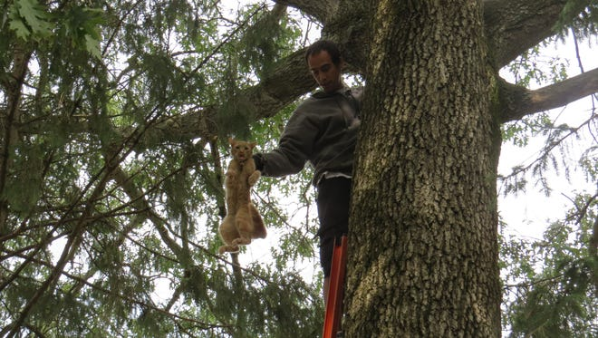 Gilbert Moreno rescues Oliver the cat from a tree after three days.