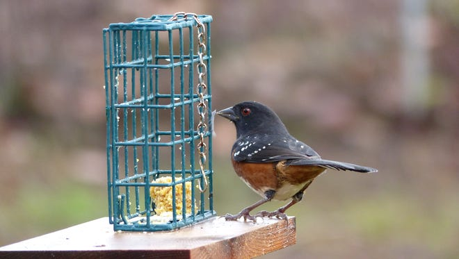 A spotted towhee eats homemade suet.