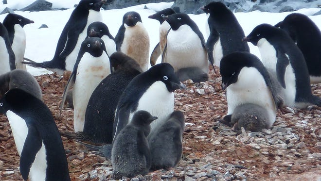 An Adelie penguin colony in the Western Antarctic Peninsula.