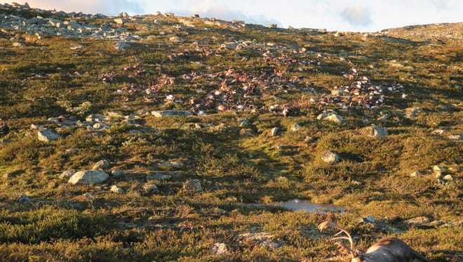 More than 300 wild reindeer were killed by lighting in central Norway on Friday. Image made available by the Norwegian  Environment Agency on Monday, Aug. 29,  2016.