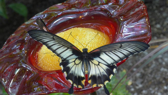 This butterfly landed on a flower filled with food. Throughout the aviary, rotting fruit attracts the butterflies who suck up the nutrients.