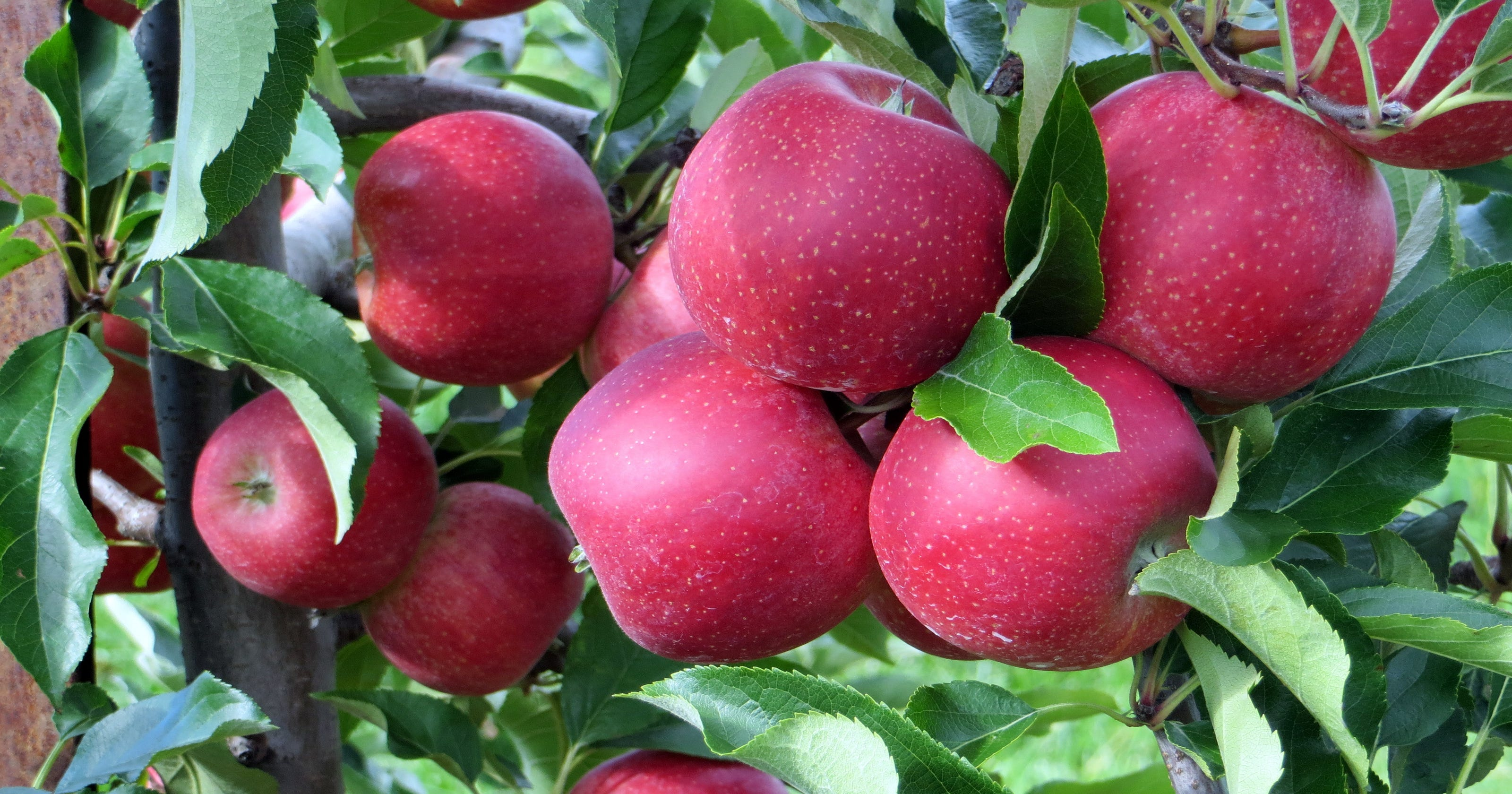 5 Places To Go Apple Picking In New Jersey
