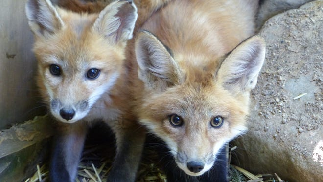 Two of the four red fox kits rehabilitated by the Howell Nature Center this summer. The foxes were released into the wild Labor Day weekend.