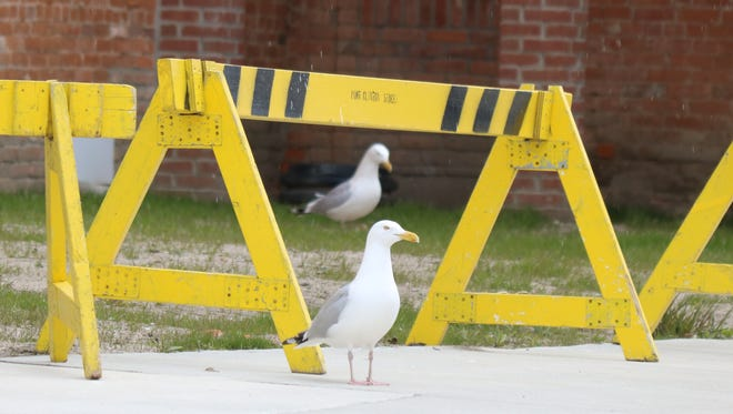 A pair of seagulls take a moment to embrace the incoming green space at 131 Madison Street in downtown Port Clinton on Wednesday.