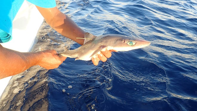 Four researchers, including Florida Institute of Technology assistant professor and shark biologist Toby Daly-Engel, recenlty announced the discovery of a new dogfish shark discovery. It was found off the coast of Belize .