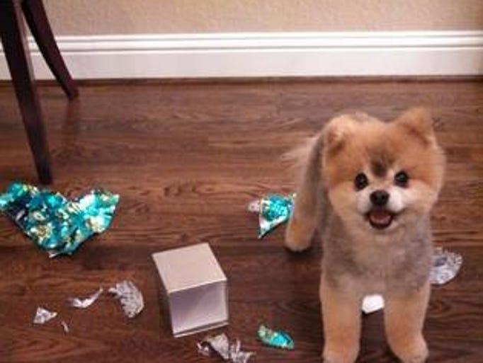 """""""13 year old Pomeranian named Yap.  I'll be honest, he is spoiled tremendously.  He is 10 lbs. of dictator ruling the house."""""""