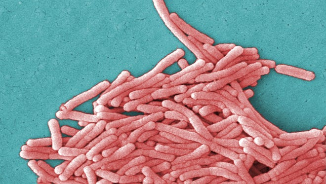 Under a moderately-high magnification of 8000X, this colorized scanning electron micrograph shows Legionella pneumophila bacteria.