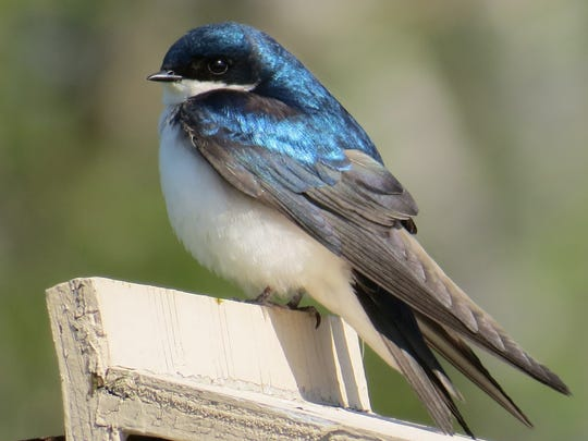 Tree swallow.