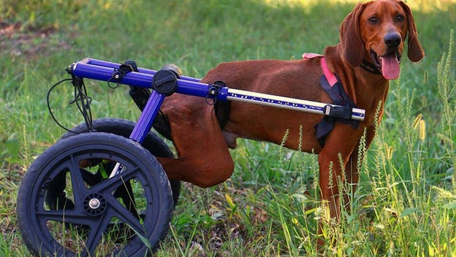 The two-year old bloodhound, which has been named Little Man, was paralyzed due to a spinal injury from being hit by a vehicle, losing use of his hind quarters.