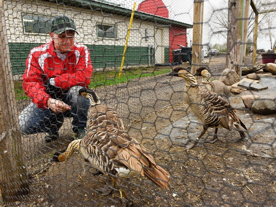 Marcus Hemker checked on the nene geese April 25, 2016, as he made his rounds checking on the animals at Hemker Park & Zoo in Freeport.