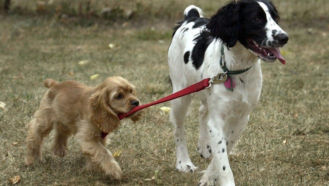 A cocker spaniel grabs the leash of an English springer at the Outagamie County Dog Park.