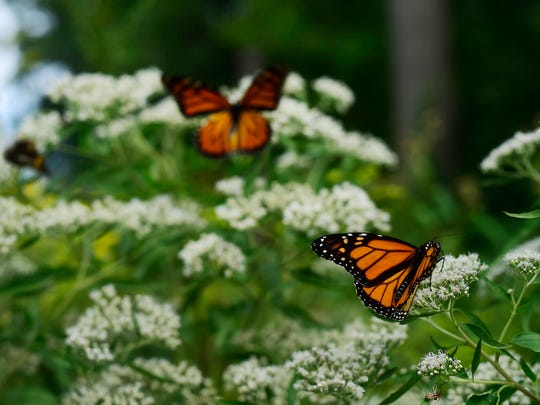 Monarch butterflies land on wildflowers along the Turkey Hill Trail in Manor Township, Lancaster County.