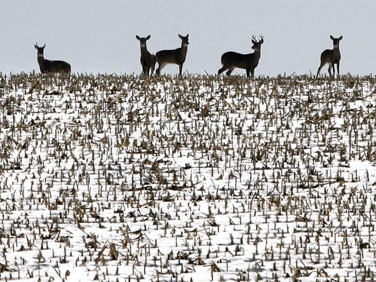 Epizootic Hemorrhagic Disease, caused by the bite of an infected midge, has killed more than a thousand deer in Iowa. The disease kills deer within four days.