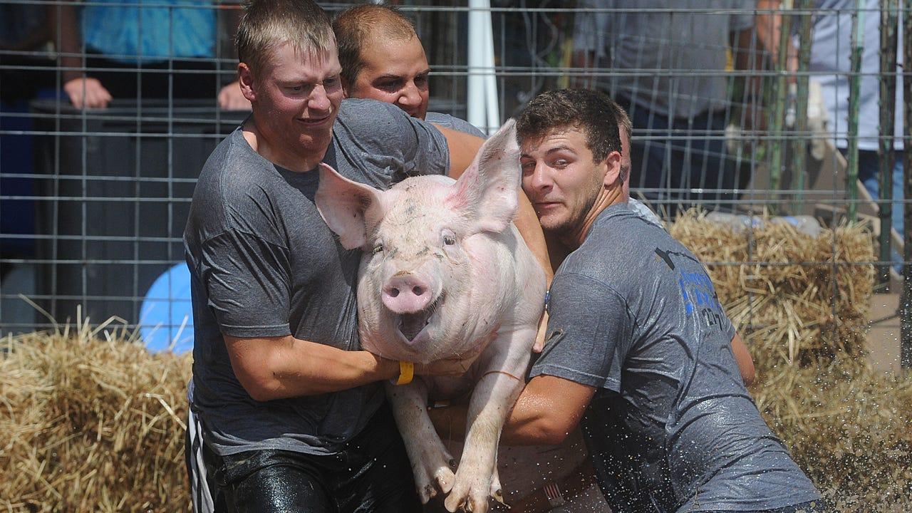 Video of 2016 Eldorado Hog Wrestling.