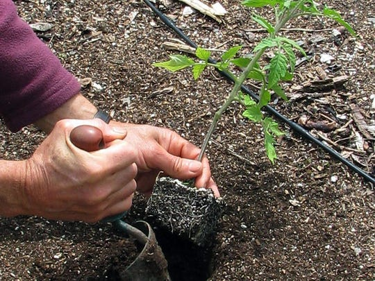 APEarlier planting leads to better harvests only when tomato seedlings have consistently, near-perfect growing conditions. In this undated photo, a tomato plant is planted in a garden in New Paltz, N.Y. Earlier planting leads to better harvests only when tomato seedlings have consistently, near-perfect growing conditions. (AP Photo/Lee Reich)