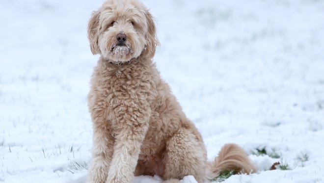 Maggie, a 5-year-old miniature golden doodle. Maggie lives in Milford with her owner, Enquirer photographer Amanda Rossmann.