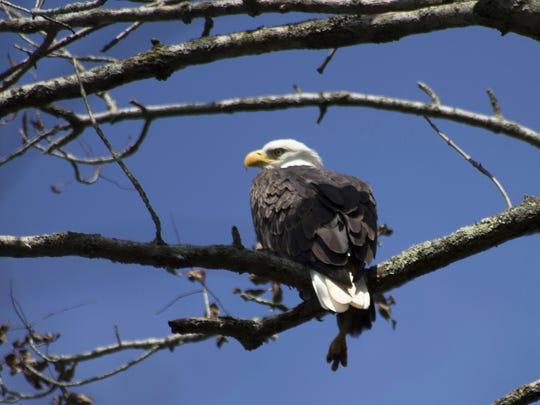 "Julie Barley of Lewisberry writes, ""My first Eagle"""