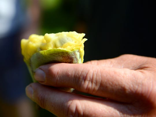 Bill Nash, of Nash Nurseries, squeezes an opened pawpaw to expose the flesh in their orchard in Owosso Wednesday, Oct. 5, 2016.