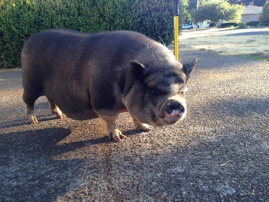 A large pig found wandering in southeast Salem Thursday