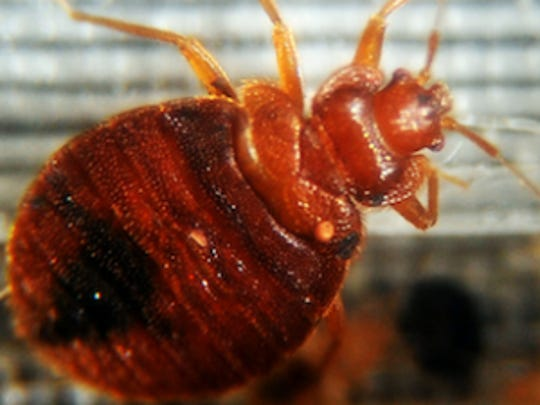 AFP US-HEALTH-BED BUGS A HOG USA DC
