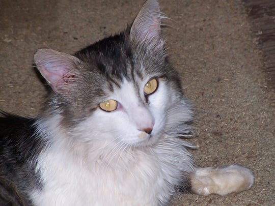 Abandoned and FIV-positive cat Tinker, 10, arrived