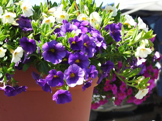 """The """"Wave Series"""" petunia are great in hanging baskets."""