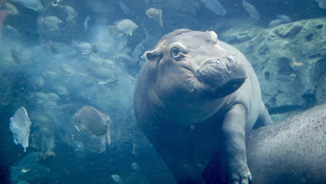 In this June 26, 2018 photo, Fiona, a baby Nile Hippopotamus swims in her enclosure at the Cincinnati Zoo & Botanical Garden, in Cincinnati.