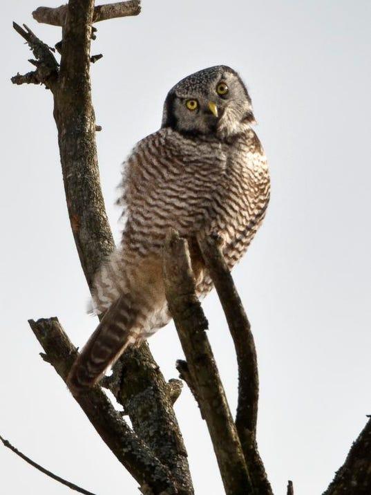 -BUR 20140211 HAWK OWL C1.jpg_20140211.jpg