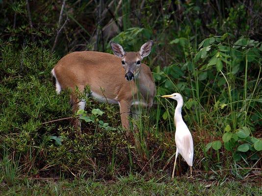 #stockphoto Key deer Stock Photo