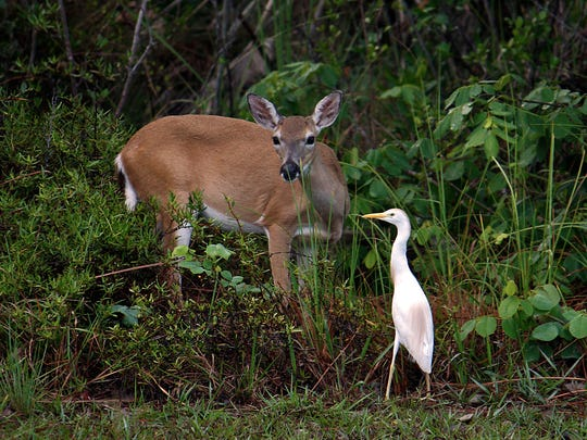 A Florida Key Deer and a white crane at the edge of the woods.