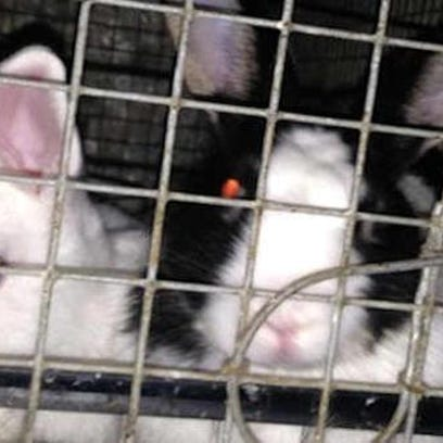 About 300 rabbits, many in cages filled with feces,