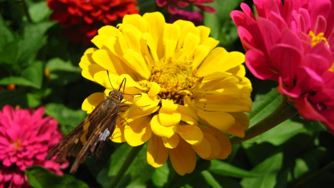 This is an example of a good zinnia entry for the South Mountain Fair.
