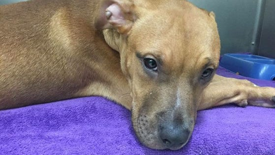 Abused and abandoned puppy, Red, was rescued and taken to County Animal Hospital for surgery Thursday.