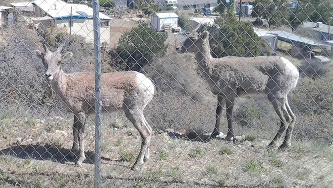 These sheep were seen off of Ridge Road in Silver City.