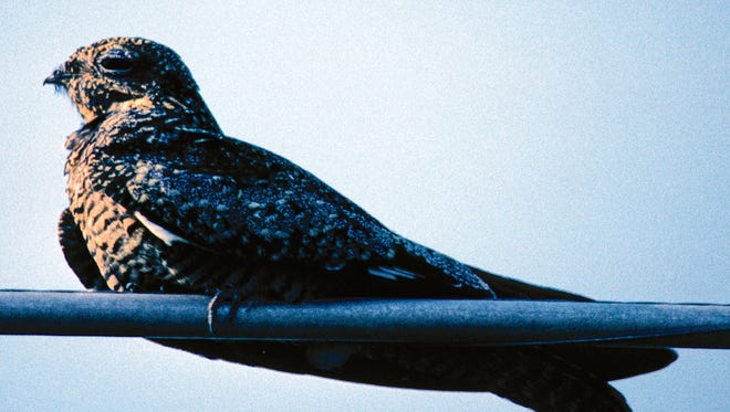 If you've ever seen large flocks of birds diving and swooping from mid-August through the beginning of September during the late afternoon to evening, chances are they are common nighthawks.