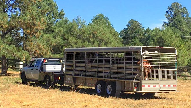 A truck pulled into the Fort Stanton Road property with members of the Alto herd.
