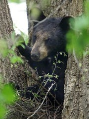 A black bear rests in a tree behind a Marion Street