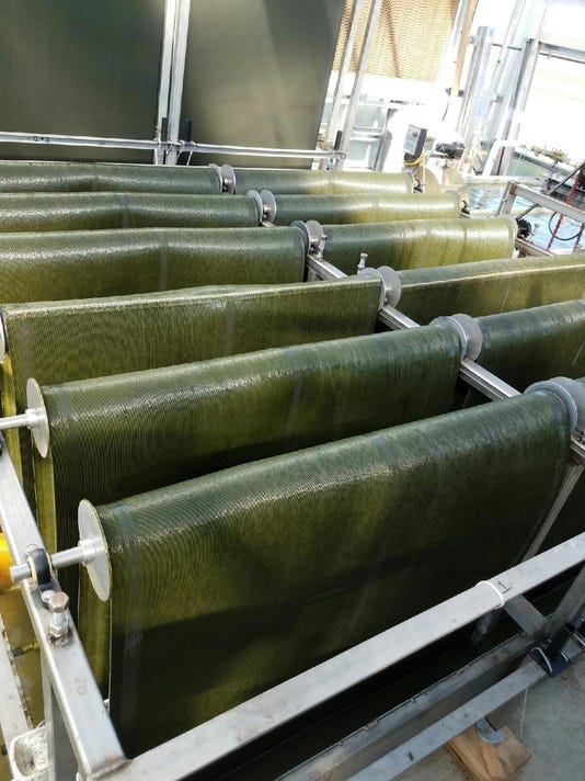 Using algae to clean water