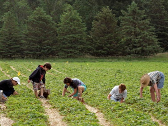 Strawberry lovers get down on their knees picking in