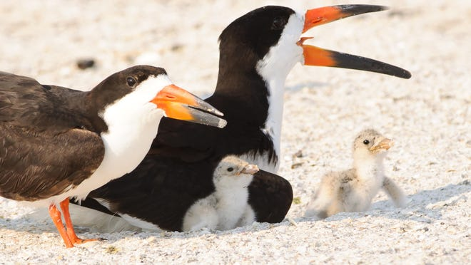 A black skimmer family with chicks.