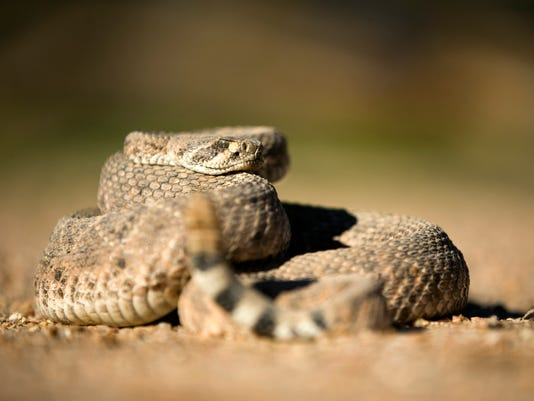 Pets and Rattlesnakes