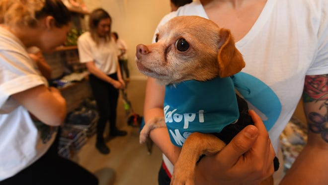 Stewie, a Chihuahua mix, hangs out at Boris & Horton, a dog café opening soon in New York City.