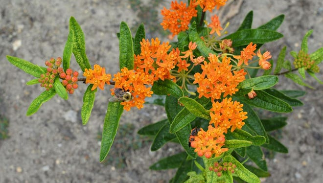 BASF Living Acres Monarch Challenge will help farmers create milkweed habitat monarchs need to make their way north.